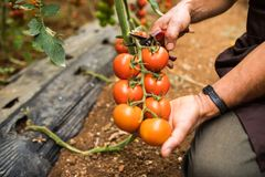 Tomatoes in the garden are cut with scissors in man hand before colections for sales. Vegetable garden with plants of red tomatoes. Tomatoes in the garden are royalty free stock photography
