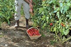 Tomatoes garden four Royalty Free Stock Image