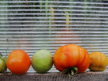 Tomatoes in the garden greenhouse. Tomato rests on a wooden shelf in the garden greenhouse of translucent polycarbonate on the green background of the fall Royalty Free Stock Photography