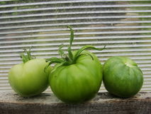 Tomatoes in the garden greenhouse. Tomato rests on a wooden shelf in the garden greenhouse of translucent polycarbonate on the green background of the fall Stock Images