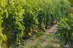 Tomatoes in a garden Royalty Free Stock Image