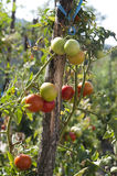 Tomatoes in the garden. Tomatoes ripen on the sunny bed of a small farm Stock Image