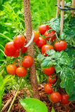 Tomatoes in the garden Royalty Free Stock Images