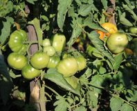 Tomatoes in the garden. Some green tomatoes in a garden Stock Photo