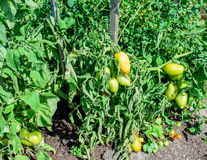 Tomatoes in the garden. A summer day in the vegetable garden with tomatoes on the vine royalty free stock photography