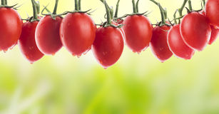 Tomatoes in garden, vegetable banner Stock Images