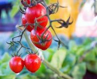 Tomatoes in the garden,Vegetable garden Stock Image