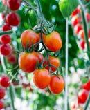 Tomatoes in the garden,Vegetable garden Royalty Free Stock Photo