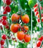 Tomatoes in the garden,Vegetable garden Stock Photos
