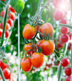 Tomatoes in the garden,Vegetable garden Royalty Free Stock Photography