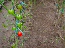 Tomatoes in the garden. Young autumn tomatoes in the garden Royalty Free Stock Photography