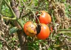 Tomatoes get sick by late blight or Phytophthora. Close up on Phytophthora infestans is an oomycete that causes the serious tomato. Es disease known as late Royalty Free Stock Photography