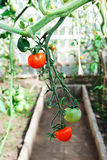 Tomatoes in a glasshouse Royalty Free Stock Image