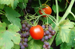 Tomatoes and grapes. Closeup of tomato and grapes on bush plant, outdoor shoot Stock Photos
