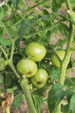 Tomatoes green on bushes. Tomatoes green hang on bushes Royalty Free Stock Photo