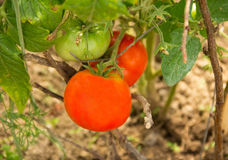 Tomatoes and green closeup mature tasty ripe on the bush in the garden Stock Photos