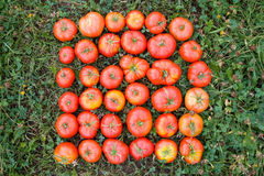 Tomatoes on a green grass Stock Photos