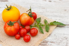 Tomatoes with green leaves on jute canvas in garden on sunny day Stock Images