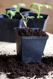 Tomatoes. Green, young seedling tomatoes on pot Stock Photography