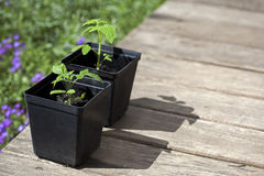 Tomatoes. Green, young seedling tomatoes on pot Royalty Free Stock Photos