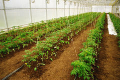 Tomatoes in a greenhouse Stock Images