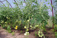 Tomatoes in a greenhouse. Glasshouse with green and yellow tomatoes Stock Photography