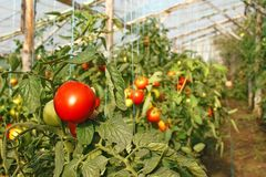 Tomatoes in greenhouse Royalty Free Stock Photo