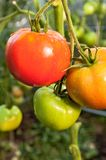 Tomatoes in a greenhouse Royalty Free Stock Images