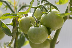 Tomatoes in greenhouse. Bunch of tomatoes grow on a branch in greenhouse Royalty Free Stock Image