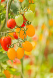 Tomatoes in greenhouse Stock Photography