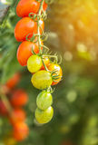 Tomatoes in greenhouse Stock Photos