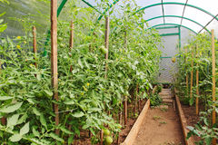 Tomatoes in greenhouse. Royalty Free Stock Photo