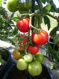Tomatoes. Greenhouse tomatoes going red in the sun. Nuances in red & green Royalty Free Stock Photo