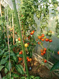 Tomatoes in a greenhouse Royalty Free Stock Photo