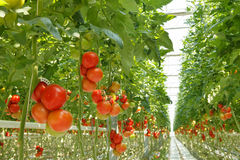 Tomatoes. Greenhouse for growing tomatoes. The crop is ready for harvest Stock Photo