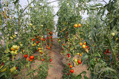 Tomatoes in a greenhouse royalty free stock image
