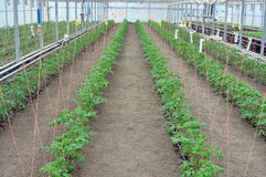 Tomatoes in greenhouse Royalty Free Stock Image