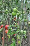 Tomatoes in the greenhouse Stock Photo