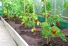 Tomatoes in a greenhouse Royalty Free Stock Photography