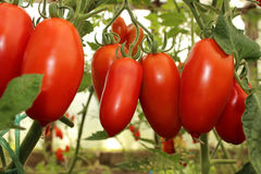 Tomatoes in the greenhouse. Ripe tomatoes on a branch in a hothouse Royalty Free Stock Photos
