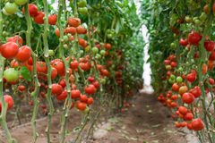Tomatoes in a greenhouse Stock Image