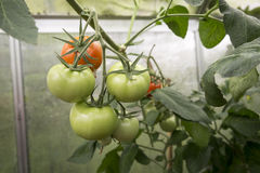 Tomatoes in greenhouse Stock Image