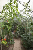 Tomatoes in greenhouse Royalty Free Stock Images