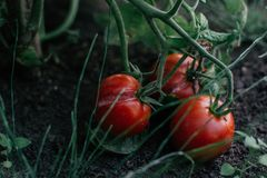 Tomatoes on the ground. And some grass green stock image
