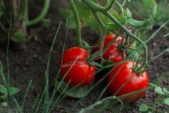 Tomatoes on the ground 3. Tomatoes on the ground, and some grass green royalty free stock photography