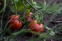 Tomatoes on the ground 2. Tomatoes on the ground, and some grass green royalty free stock photo