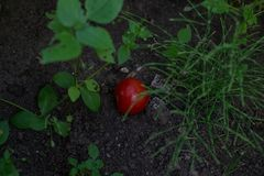 Tomatoes on the ground 4. Tomatoes on the ground, and some grass green stock photography
