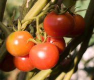 Tomatoes Group on tree Royalty Free Stock Image