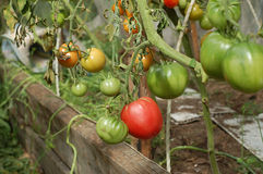 Tomatoes. Grow on a bed in the greenhouse Royalty Free Stock Photography