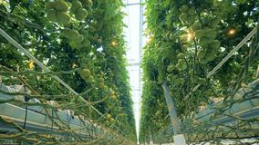 Tomatoes grow in a greenhouse. Lots of green tomatoes grow on a bed stock video footage